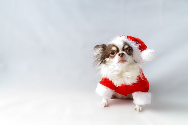 Chihuahua dog wearing a red christmas santa costume and looks at camera. isolated on white background.