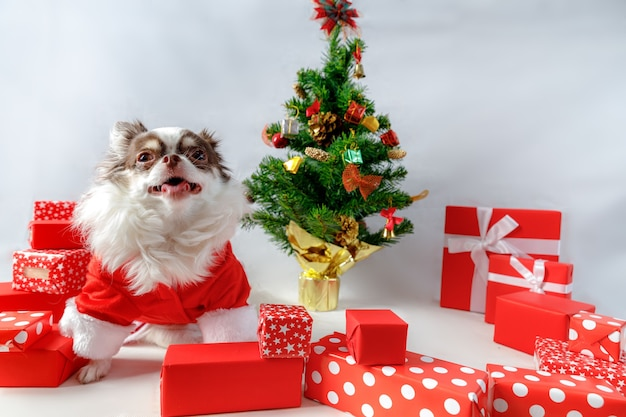 Chihuahua dog wearing a red christmas santa costume with gift boxes and christmas tree