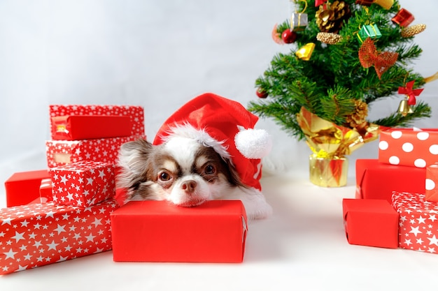 Chihuahua dog wearing a red christmas santa costume with gift boxes