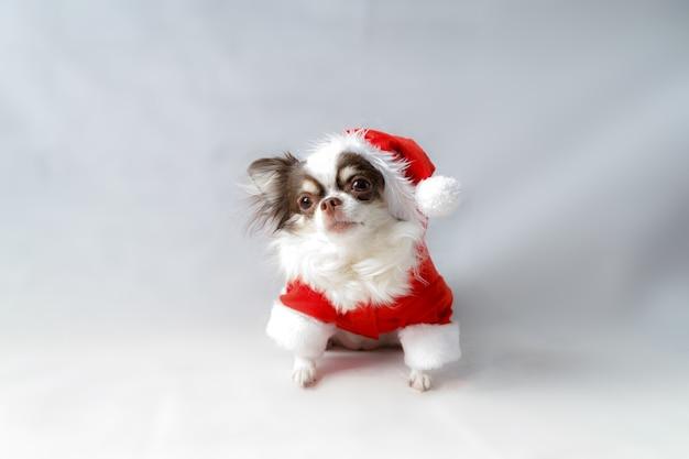 Chihuahua dog wearing a red christmas santa costume