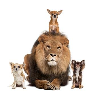 チワワ犬と白で隔離されるライオン
