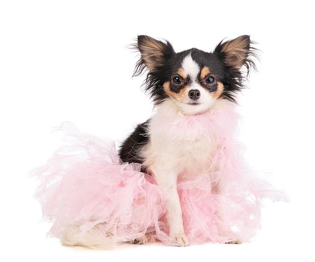 白い背景の上のピンクのダンサーのチュチュを着たチワワ