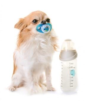 Chihuahua and feeding bottle