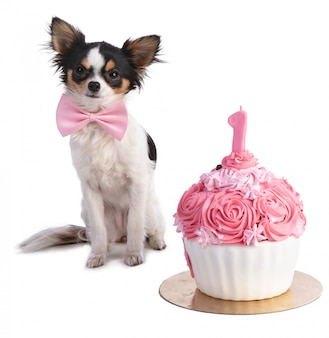 Chihuahua in front of her a pink birthday cake