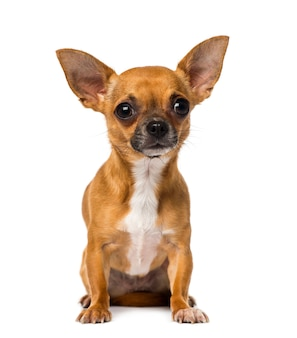 Chihuahua in front of a white wall