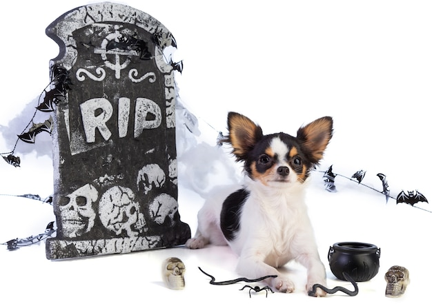 Chihuahua to halloween with tombstone decor on white background
