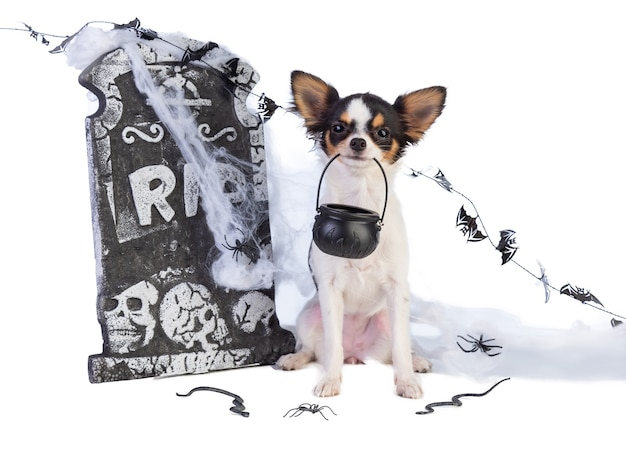 Chihuahua to halloween with tombstone decor on white isolated