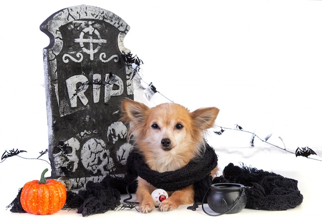 Chihuahua to halloween with tombstone decor