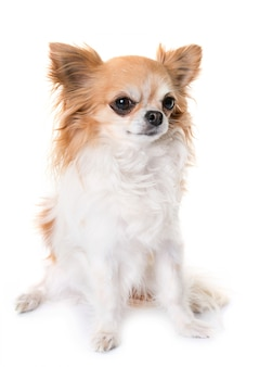 Chihuahua howling in studio