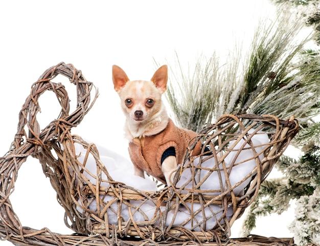クリスマスの風景の前でチワワ