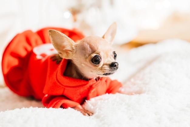 새해 인테리어에 치와와입니다. 작은 개는 탁상에 놓여 있습니다. 크리스마스 장난감, 장식 주변.