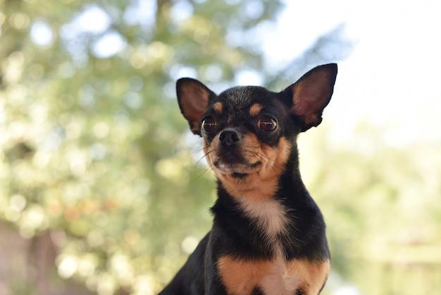 Чихуахуа сидит на скамейке. довольно коричневая собака чихуахуа