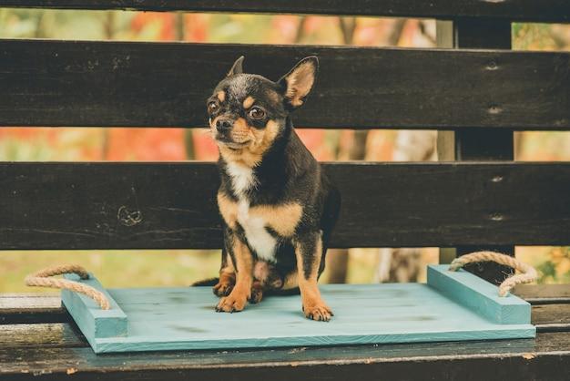 Чихуахуа сидит на скамейке. собака гуляет. черно-коричнево-белый окрас чихуахуа осенью