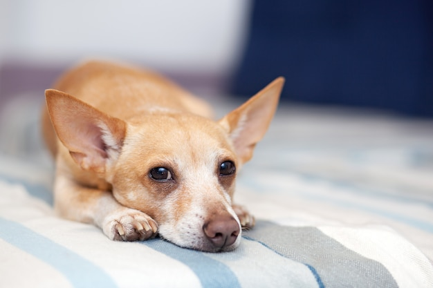 Chihuahua lying on the couch. pet rests. red dog on the sofa. a horizontal photo of an indoor shot from a light interior with a small sofa. the dog in the apartment is waiting for the owner to go home
