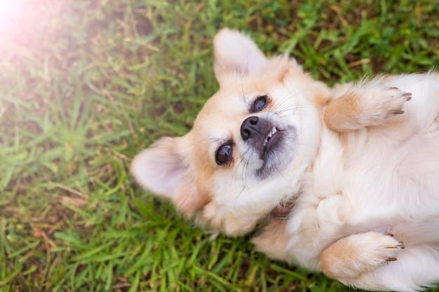 Чихуахуа лежал на спине в траве счастливым