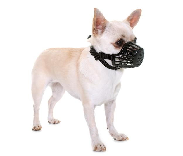 Chihuahua and muzzle