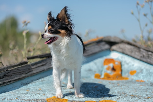 Chihuahua on an old blue fishing boat