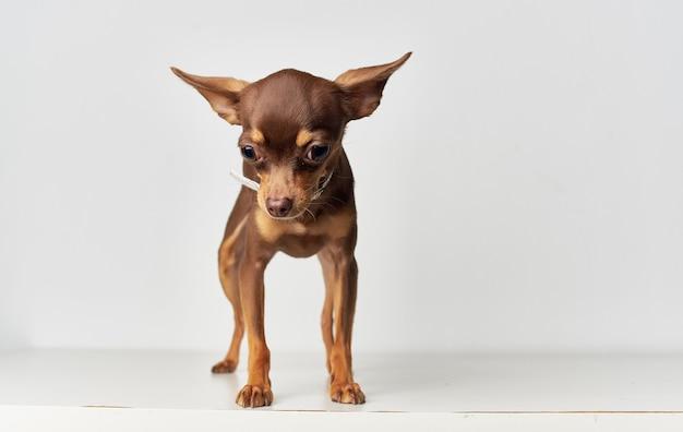 チワワペットの犬の性質はい白い血統