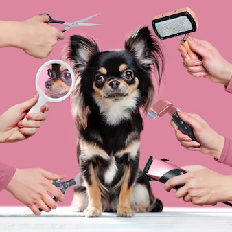 Chihuahua on pink wall getting grooming procedures