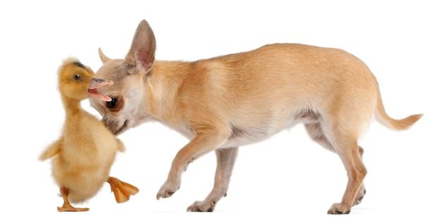Чихуахуа играет с домашним утенком