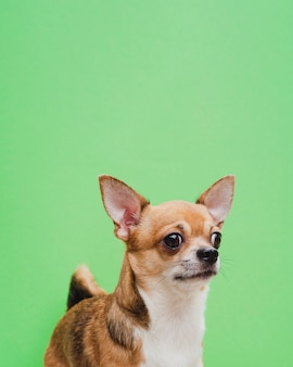 Chihuahua portrait on green background