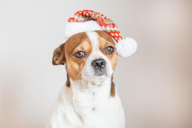 Портрет чихуахуа в новогодней шапке, глядя в камеру