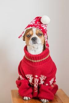 Портрет чихуахуа в новогодней шапке и новогодней куртке