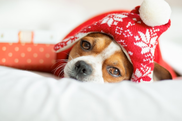 Chihuahua portrait in santa hat and red scarf with gift lying on bed. stay home. relax. christmas dreams. high quality photo