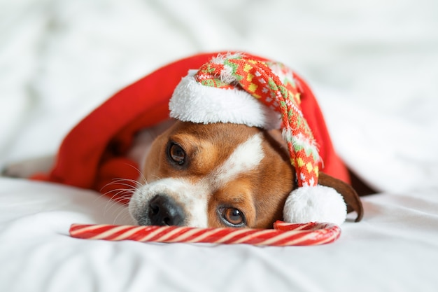 Chihuahua portrait in santa hat and red scarf with lollipop cane lying on bed. stay home. relax. christmas dreams. high quality photo