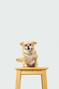 흰색 배경에서 치와와 강아지입니다. 표지 배너 개념 배경입니다.