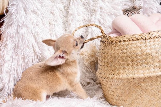 치와와 강아지 놀이 바구니