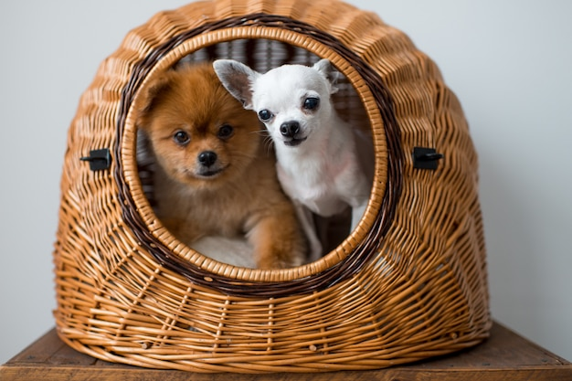 Chihuahua puppy and pomeranian puppy sharing one dog house