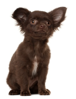 Chihuahua puppy sitting against white background