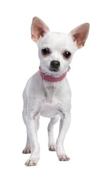 6 개월 된 핑크 칼라를 입고 치와와 강아지.