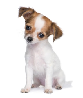 3 개월 치와와 강아지. 고립 된 개 초상화