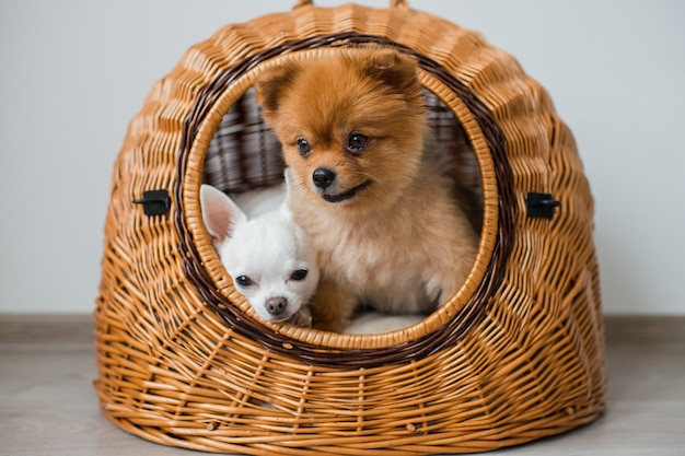 Chihuahua puppy with pomeranian puppy relaxing inside wicker dog house