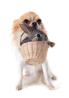 Chihuahua and rabbit