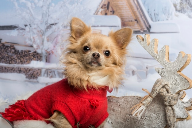 Chihuahua in red dress against winter scene