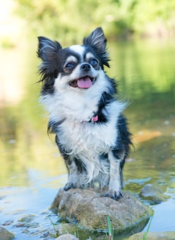 Chihuahua in river