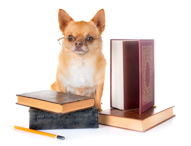 Chihuahua in school