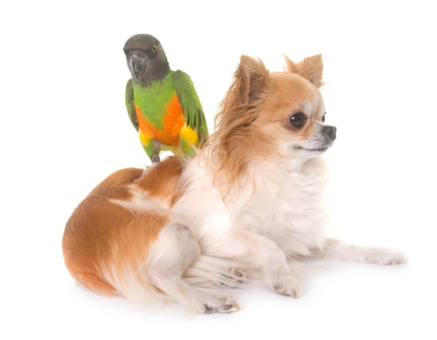 Chihuahua and senegal parrot