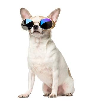 Чихуахуа сидит и носить солнцезащитные очки, изолированные на белом