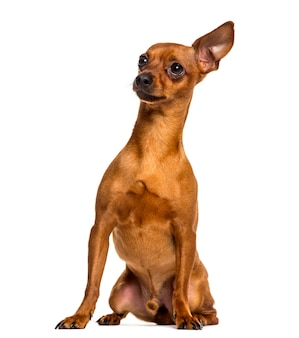 Chihuahua sitting in front of a white wall