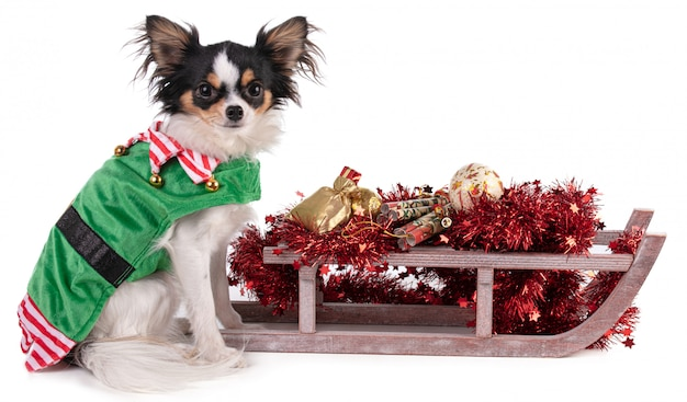 Chihuahua sitting in a goblin's outfit with a sled for christma