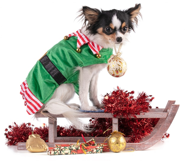 Chihuahua sitting in a goblin's outfit with a sled for christmas