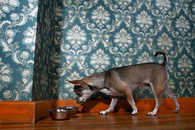 Чихуахуа нюхает собачью миску перед цветочными обоями