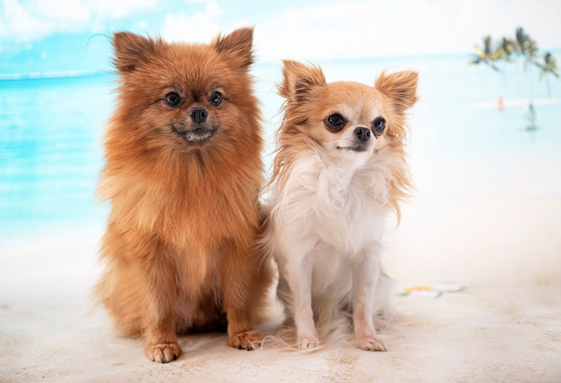 Chihuahua and spitz posing on beach, summer vacation with dogs