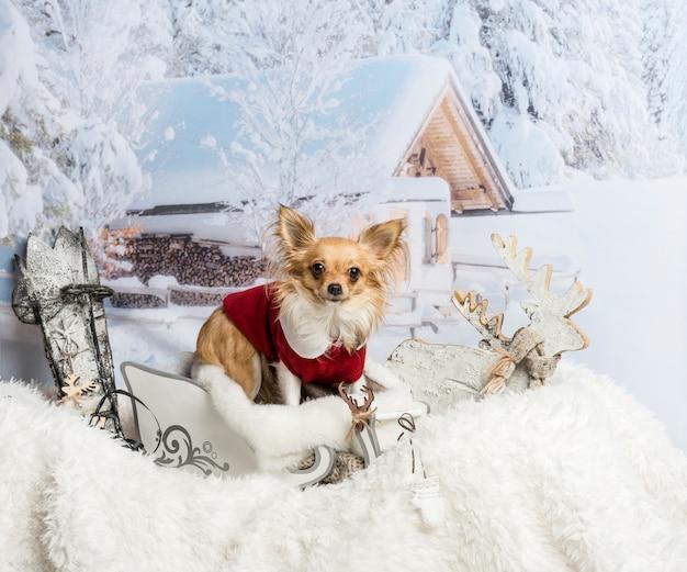 Чихуахуа стоит в санях, глядя в камеру в зимней сцене
