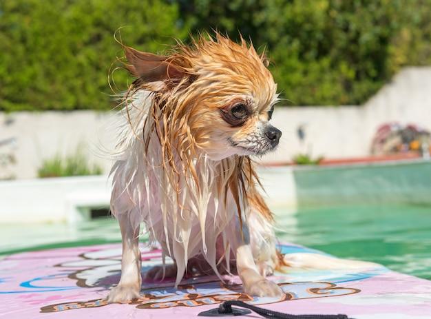 Chihuahua and swimming pool