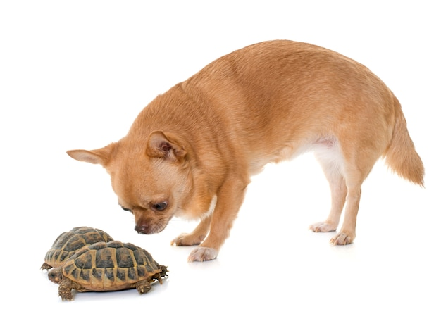 Chihuahua and tortoise